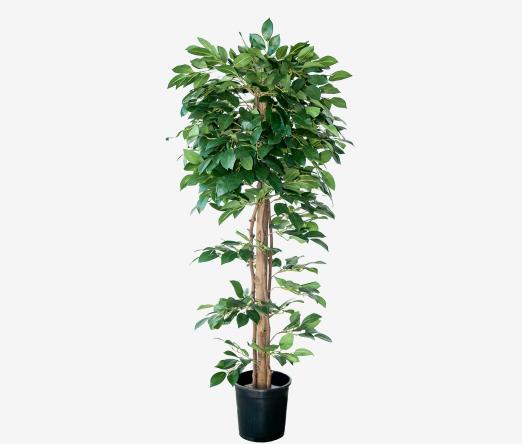 Árvore Ficus JOM 3067600000202